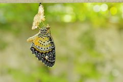 La metamorfosi della farfalla dal bozzolo e prepara alla volata sul filo stendiabiti di alluminio in giardino Immagine Stock Libera da Diritti