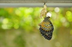 La metamorfosi della farfalla dal bozzolo e prepara alla volata sul filo stendiabiti di alluminio in giardino Fotografie Stock Libere da Diritti