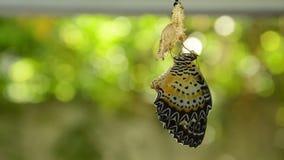 La metamorfosi della farfalla dal bozzolo e prepara alla volata sul filo stendiabiti di alluminio in giardino video d archivio