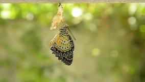 La metamorfosi della farfalla dal bozzolo e prepara alla volata sul filo stendiabiti di alluminio in giardino archivi video