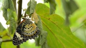 La metamorfosi della farfalla dal bozzolo e prepara alla volata sul ramo in giardino video d archivio