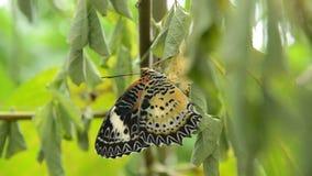 La metamorfosi della farfalla dal bozzolo e prepara alla volata sul ramo in giardino archivi video