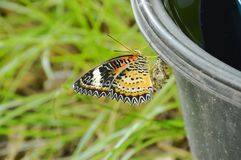 La metamorfosi della farfalla dal bozzolo e scalare sul recipiente di plastica nero preparano alla volata nel giardino Fotografie Stock