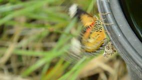 La metamorfosi della farfalla dal bozzolo e scalare sul recipiente di plastica nero preparano alla volata nel giardino video d archivio