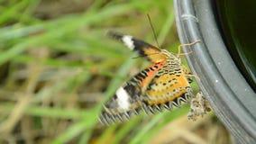 La metamorfosi della farfalla dal bozzolo e scalare sul recipiente di plastica nero preparano alla volata nel giardino archivi video