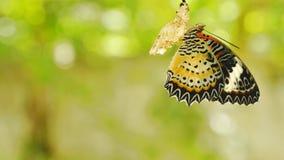 La metamorfosis de la mariposa del capullo y se prepara a volar en la línea de ropa de aluminio en jardín fotos de archivo