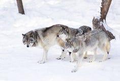 La meute de loups de bois de construction contre la neige blanche a couvert le champ Photo stock