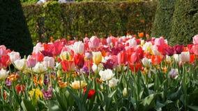 La mezcla pintoresca de flores multicoloras de los tulipanes florece en jard?n de la primavera Flor decorativo de la flor del tul almacen de metraje de vídeo