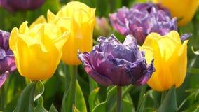 La mezcla pintoresca de flores púrpuras y amarillas oscuras de los tulipanes florece en jardín de la primavera Flor decorativo de almacen de video