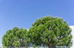 La mezza forma rotonda due di albero di pino gentile italiano sotto il cielo blu profondo fotografia stock libera da diritti