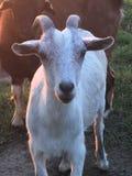 La mia capra favorita fotografia stock