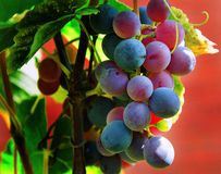 La mia uva Fotografia Stock