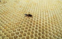 La miel, abeja Fotografía de archivo