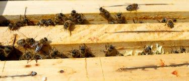 La miel, abeja Imágenes de archivo libres de regalías