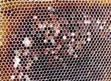 La miel, abeja Imagen de archivo libre de regalías