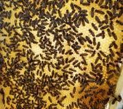 La miel, abeja Fotografía de archivo libre de regalías