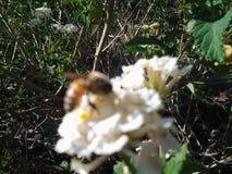La miel de la abeja de la naturaleza florece los trabajos ocupados Foto de archivo libre de regalías