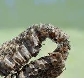 La miel de la avispa adaptó la jerarquía de un avispón Imagenes de archivo