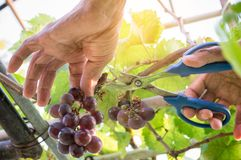 La mietitrice passa il taglio dell'uva matura su una vigna Fotografie Stock Libere da Diritti