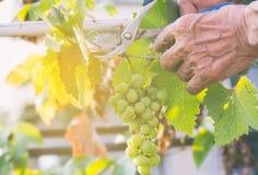 La mietitrice passa il taglio dell'uva matura su una vigna Fotografia Stock