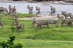 La migración de las cebras Fotos de archivo libres de regalías
