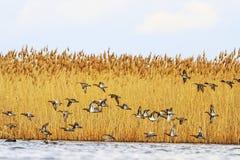 La migration des canards au printemps, des oiseaux volent au-dessus de l'eau Photographie stock libre de droits