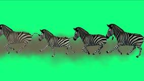la migrazione degli animali degli asini del cavallo delle zebre del gruppo 4k esegue il fumo, pascolo dell'Africa illustrazione di stock