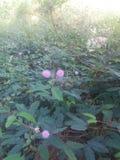 La mimosa è un piccolo albero Immagini Stock