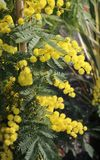 La mimosa amarilla florece símbolo del día internacional de mujeres Fotografía de archivo
