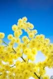 La mimosa fleurit le cloose vers le haut photographie stock libre de droits
