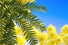 La mimosa fleurit le cloose vers le haut photo stock