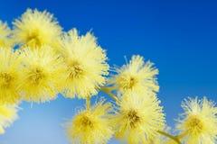 La mimosa fleurit le cloose vers le haut image stock
