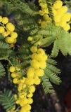 La mimosa florece el símbolo del día de las mujeres Imágenes de archivo libres de regalías