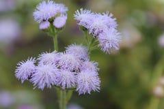La mimosa púrpura canta una canción dulce del verano Mimosa púrpura en un fondo aislado fotos de archivo libres de regalías
