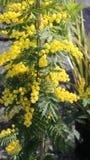La mimosa pianta a marzo il simbolo della Giornata internazionale della donna Fotografia Stock Libera da Diritti