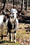 La mini capra come animali domestici è così sveglia Fotografia Stock Libera da Diritti