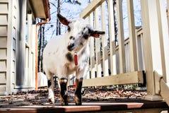 La mini capra prova ad entrare nella casa Fotografie Stock