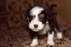 La miniatura del cucciolo si trova sul letto, piccolo cane divertente, guardante in camera immagine stock libera da diritti