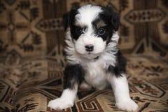 La miniatura del cucciolo si trova sul letto, piccolo cane divertente, guardante in camera fotografia stock libera da diritti