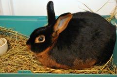 La miniatura pota il coniglio dell'animale domestico Fotografia Stock Libera da Diritti