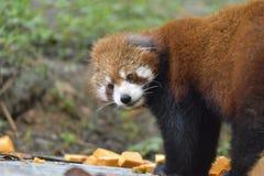 La mirada de la panda roja alrededor antes de  del ¼ del eatingï Imagen de archivo