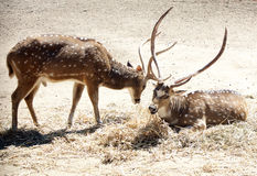 La mirada de un ciervo Imagen de archivo libre de regalías
