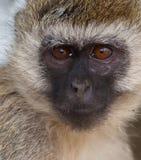 La mirada de un mono de Vervet Fotos de archivo