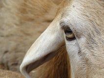 La mirada de una oveja Foto de archivo libre de regalías
