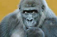 La mirada del gorila Foto de archivo libre de regalías