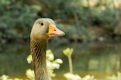 La mirada fija alerta de un ganso de Canadá fotografía de archivo libre de regalías