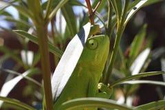 La mirada fija del camaleón Foto de archivo libre de regalías