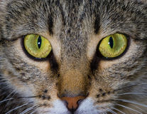 La mirada fija del gato Fotografía de archivo