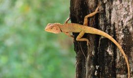 La mirada fija del lagarto Imágenes de archivo libres de regalías