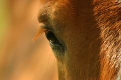 La mirada/The look. The horse look at the photographer Royalty Free Stock Photos